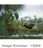 #15300 Picture Of A Hawaiian Moorhen (Gallinula Sandvicensis)