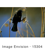 #15304 Picture Of A Red-Winged Blackbird (Agelaius Phoeniceus)