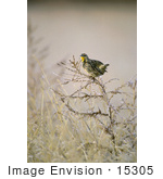 #15305 Picture Of A Western Meadowlark (Sturnella Neglecta)