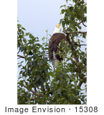 #15308 Picture Of A Bald Eagle (Haliaeetus Leucocephalus) In A Tree