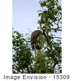 #15309 Picture Of A Bald Eagle (Haliaeetus Leucocephalus) Perching In A Tree