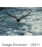 #15311 Picture Of A Flesh-Footed Shearwater (Puffinus Carneipes)