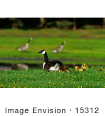 #15312 Picture Of Canada Geese (Branta Canadensis) And Goslings