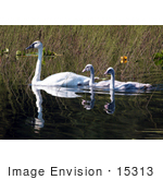 #15313 Picture Of A Trumpeter Swan Brood (Cygnus Buccinator)