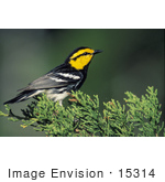 #15314 Picture Of A Golden-Cheeked Warbler (Dendroica Chrysoparia)