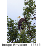 #15315 Picture Of A Bald Eagle (Haliaeetus Leucocephalus)