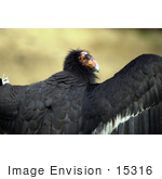 #15316 Picture Of A California Condor (Gymnogyps Californianus) With Open Wings