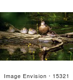 #15321 Picture Of A Blue-Winged Teal (Anas Discors) And Ducklings