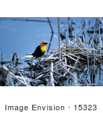 #15323 Picture Of A Yellow-Headed Blackbird (Xanthocephalus Xanthocephalus)