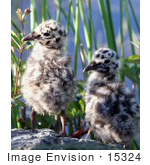 #15324 Picture Of Two Spotted Mew Gull Chicks (Larus Canus)