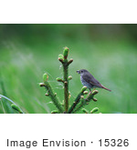 #15326 Picture Of A Hermit Thrush (Catharus Guttatus)