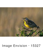 #15327 Picture Of A Western Meadowlark (Sturnella Neglecta)