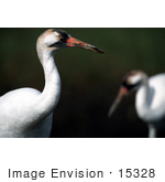#15328 Picture Of A Whooping Crane (Grus Americana)