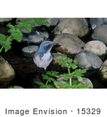 #15329 Picture Of A Western Scrub Jay (Aphelocoma Californica) Wading