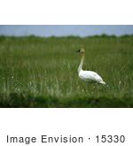 #15330 Picture Of A Tundra Swan (Cygnus Columbianus)