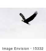 #15332 Picture Of A Flying Bald Eagle (Haliaeetus Leucocephalus)