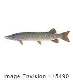 #15490 Picture Of A Muskellunge Muskie Musky (Esox Masquinongy)