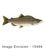 #15494 Picture Of A Pink Salmon Humpback Salmon (Oncorhynchus Gorbuscha)