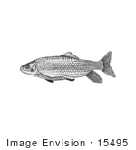 #15495 Picture Of A Robust Redhorse Fish