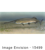 #15499 Picture Of A Paddlefish (Polyodon Spathula)