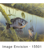 #15501 Picture Of A Redear Sunfish (Lepomis Microlophus)