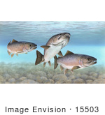 #15503 Picture Of Atlantic Salmon (Salmo Salar)
