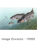 #15505 Picture Of Striped Bass (Morone Saxatilis)