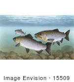 #15509 Picture Of Pacific Salmon (Oncorhynchus)