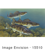 #15510 Picture Of Walleye Fish (Stizostedion Vitreum)