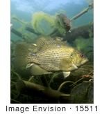 #15511 Picture Of A Rock Bass (Ambloplites Rupestris)