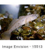 #15513 Picture Of A Round Goby (Neogobius Melanostomus)