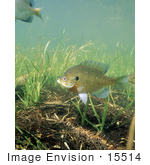 #15514 Picture Of Bluegill Fish (Lepomis Macrochirus) By Underwater Grasses