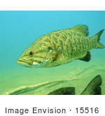 #15516 Picture Of A Smallmouth Bass (Micropterus Dolomieu)