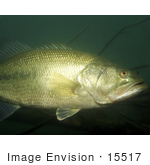 #15517 Picture Of A Largemouth Bass (Micropterus Salmoides)