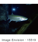 #15519 Picture Of Lake Trout (Salvelinus Namaycush)