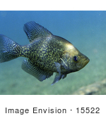 #15522 Picture Of A Black Crappie Fish (Pomoxis Nigromaculatus)