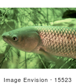#15523 Picture Of A Grass Carp Fish White Amur (Ctenopharyngodon Idella)