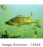 #15524 Picture Of Yellow Perch Fish (Perca Flavescens)