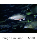 #15530 Picture Of Brook Trout (Salvelinus Fontinalis) In An Aquarium