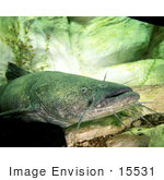 #15531 Picture Of A Flathead Catfish (Pylodictis Olivaris)