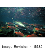 #15532 Picture Of Rainbow/Redband Trout With Sockeye/Red/Blueback Salmon