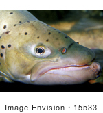 #15533 Picture Of Face Of A Brown Trout (Salmo Trutta)