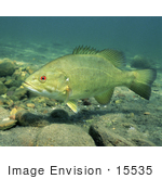 #15535 Picture Of A Smallmouth Bass (Micropterus Dolomieu)