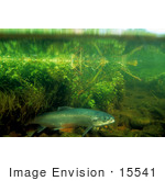 #15541 Picture Of Atlantic Salmon (Salmo Salar)