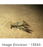 #15543 Picture Of A Crawdad Crayfish Crawfish (Astacidae)