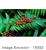 #15552 Picture Of Ladybugs On A Fern Leaf