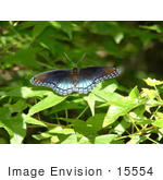 #15554 Picture Of A Red Spotted Purple Butterfly (Limentis Arthemis Astyanax)