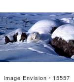 #15557 Picture Of An Arctic Fox (Alopex Lagopus) Curled Up In Snow
