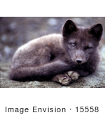 #15558 Picture of an Arctic Fox (Alopex lagopus) Curled Up by JVPD