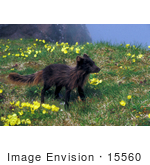#15560 Picture Of An Arctic Fox (Alopex Lagopus) Standing In Alaska Poppies